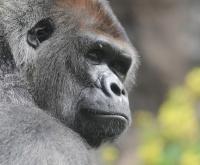 Test - Quel singe sommeille-en vous ? 686