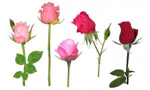 Quelle rose êtes-vous ?
